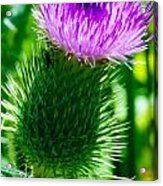 Bumble Bee On Bull Thistle Plant  Acrylic Print