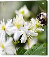 Bumble Bee On Clematis Acrylic Print