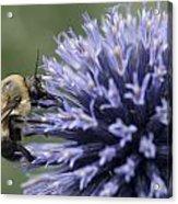 Bumble Bee On Flower Acrylic Print