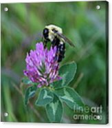 Bumble Bee On Red Clover  Acrylic Print