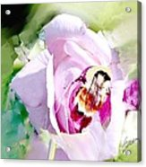 Bumble Bee On Rose Acrylic Print
