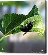 Bumble Bee Acrylic Print by Rebecca Christine Cardenas