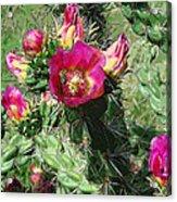 Bumble Cactus Flower Acrylic Print