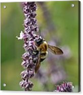Bumble On Sage Acrylic Print