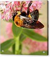 Bumblebee Clinging To Sedum Acrylic Print
