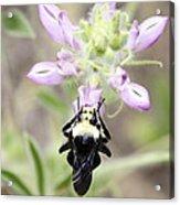 Bumblebee Heaven Acrylic Print