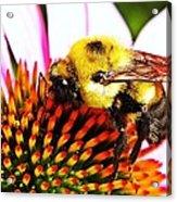 Bumblebee On Echinacea  Acrylic Print