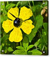 Bumblebee On Flower Acrylic Print