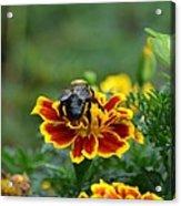 Bumblebee On Marigold Acrylic Print