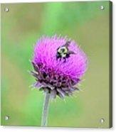 Bumblebee On Thistle 2013 Acrylic Print