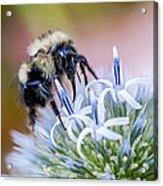 Bumblebee On Thistle Blossom Acrylic Print