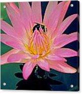 Bumblebee On Water Lily Acrylic Print