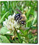 Bumblebee On White Clover Acrylic Print