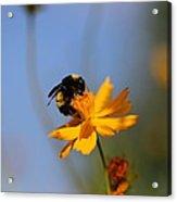 Bumblebee On Yellow Flower Acrylic Print