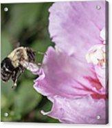 bumblebee to Rose of Sharon Acrylic Print