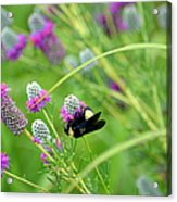 Bumbling Around Acrylic Print
