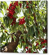 Bumper Crop - Cherries Acrylic Print