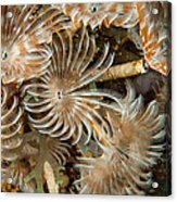 Bunch Of Dusters Acrylic Print by Jean Noren