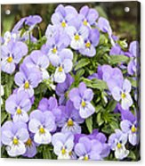 Bunch Of Pansy Flowers Acrylic Print