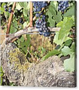 Bunches Of Red Wine Grapes Growing On Vine Acrylic Print