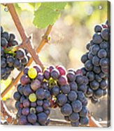 Bunches Of Red Wine Grapes Hanging On Grapevine Acrylic Print