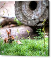 Bunny In The Grass Acrylic Print