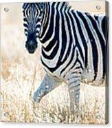 Burchells Zebra Equus Quagga Acrylic Print