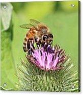 Burdock And Honeybee Acrylic Print