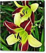Burgundy And Yellow Lilies 2 Acrylic Print