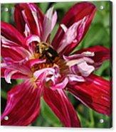 Burgundy Bee Acrylic Print