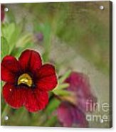 Burgundy Calibrochoa Blank Greeting Card Acrylic Print