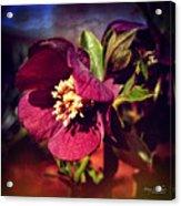 Burgundy Hellebore Flower Acrylic Print