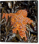 Buried In Kelp Acrylic Print by Sarah Crites