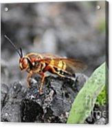 Burn Pile Bee Acrylic Print