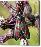 Burnett Moth Acrylic Print