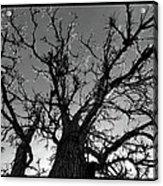 Burr Oak Beauty Acrylic Print