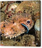 Burrfish And Cleaner Goby Acrylic Print