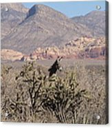 Burro Red Rock Acrylic Print