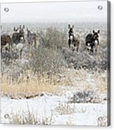 Burros In The Snow Acrylic Print