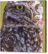 Burrowing Owl 001 Acrylic Print