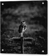 Burrowing Owl At Dusk Acrylic Print by Kelly Gibson