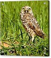 Burrowing Owl At It's Burrow Acrylic Print