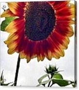 Burst Of Sunflower Acrylic Print