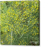 Bursting Dill Plant Acrylic Print