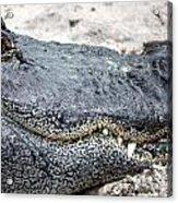 Busch Gator Acrylic Print