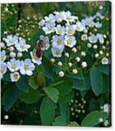 Bush Blossums With Bee Acrylic Print