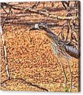Bush Stone Curlew Acrylic Print