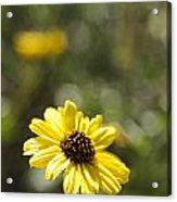 Bush Sunflower 1 Acrylic Print