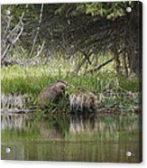 Busy Beaver Acrylic Print by Charles Warren