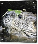 Busy Beaver Acrylic Print